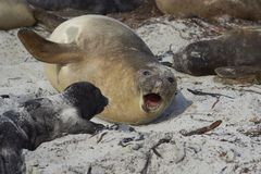 Southern Elephant Seal and pup Stock Photos