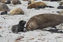 Southern Elephant Seal and pup Royalty Free Stock Photo