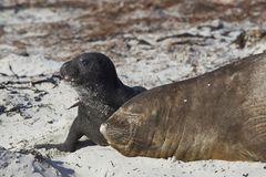Southern Elephant Seal and pup Royalty Free Stock Photography