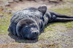 Southern Elephant Seal Pup (Mirounga leonina) Stock Photos