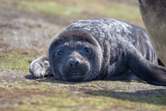 Southern Elephant Seal Pup (Mirounga leonina) Royalty Free Stock Photo