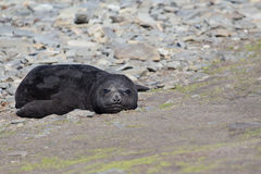 Southern Elephant Seal pup (Mirounga leonina;) on a rocky beach Royalty Free Stock Images