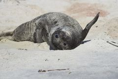 Southern Elephant Seal pup Royalty Free Stock Photography