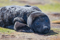 Southern Elephant Seal pup (Mirounga leonina;) Royalty Free Stock Photography