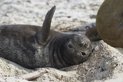 Southern Elephant Seal pup Stock Photo