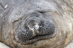 Southern elephant seal is sleeping Stock Images