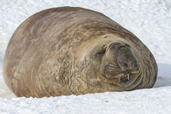 Southern elephant seal which lies in the snow with eyes closed Royalty Free Stock Image