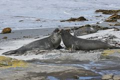 Southern elephant seals. (Mirounga leonina) on the beach on Seal Lion Island, Falkland Islands Royalty Free Stock Photo