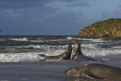 Free Southern Elephant Seals - Falkland Islands Royalty Free Stock Photos - 90746308