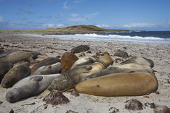 Southern Elephant Seals  - Falkland Islands. Group of Southern Elephant Seals [Mirounga leonina] sleeping on a sandy beach on Sealion Island in the Falkland Royalty Free Stock Photo