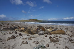 Southern Elephant Seals  - Falkland Islands. Group of Southern Elephant Seals [Mirounga leonina] sleeping on a sandy beach on Sealion Island in the Falkland Stock Images