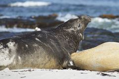 Southern Elephant Seals - Falkland Islands. Southern Elephant Seals [Mirounga leonina] on a sandy beach on Sealion Island in the Falkland Islands Royalty Free Stock Photo