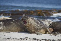 Southern Elephant Seals - Falkland Islands. Southern Elephant Seals [Mirounga leonina] on a sandy beach on Sealion Island in the Falkland Islands Royalty Free Stock Image
