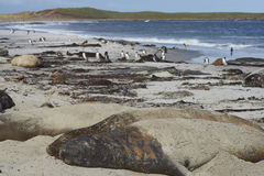 Southern Elephant Seals - Falkland Islands. Southern Elephant Seals [Mirounga leonina] sleeping on a sandy beach on Sealion Island in the Falkland Islands Stock Image