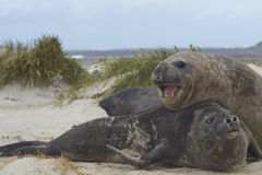 Southern Elephant Seals  - Falkland Islands Royalty Free Stock Image