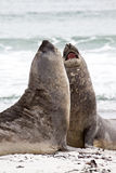 Southern elephant seals are fighting Stock Photos