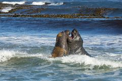 Southern elephant seals fighting in the ocean. Falkland islands stock photo
