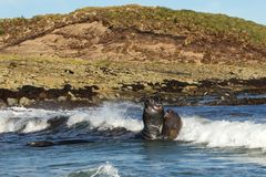 Southern elephant seals fighting in the ocean. Near the coast, Falkland islands royalty free stock image