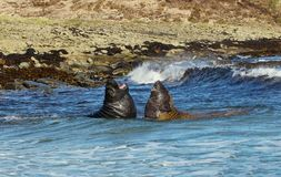 Southern elephant seals fighting in the ocean. Near the coast, Falkland islands royalty free stock images