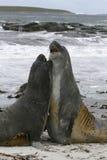 Southern elephant seals (Mirounga leonina) Stock Images