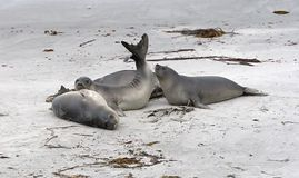 Southern elephant seals (Mirounga leonina) Royalty Free Stock Photography