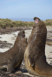Southern Elephant Seals (Mirounga leonina) fighting. Male Southern Elephant Seals (Mirounga leonina) fighting during the breeding season on Carcass Island in the Royalty Free Stock Images