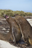 Southern Elephant Seals (Mirounga leonina) fighting. Male Southern Elephant Seals (Mirounga leonina) fighting during the breeding season on Carcass Island in the Royalty Free Stock Photography