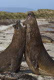 Southern Elephant Seals (Mirounga leonina) fighting. Male Southern Elephant Seals (Mirounga leonina) fighting during the breeding season on Carcass Island in the Stock Images