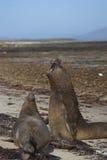Southern Elephant Seals (Mirounga leonina) fighting. Male Southern Elephant Seals (Mirounga leonina) fighting during the breeding season on Carcass Island in the Stock Photos