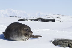 Southern elephant seals pups lying on the ice in front of the An Stock Photo