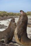 Southern Elephant Seals (Mirounga leonina) fighting Royalty Free Stock Images