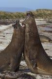 Southern Elephant Seals (Mirounga leonina) fighting Stock Images