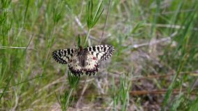 Southern Festoon butterfly in its habitat - in the field located in central Ukraine stock video