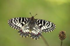 Southern festoon (Zerynthia polyxena) butterfly. On dry plant Royalty Free Stock Photo