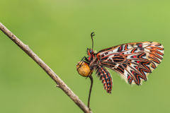 Southern festoon (Zerynthia polyxena) butterfly. On dry plant Royalty Free Stock Photography