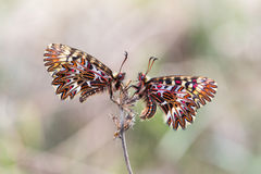 Southern festoon (Zerynthia polyxena) butterfly. Pair on dry plant Stock Photo