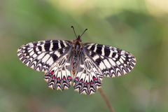 Southern festoon (Zerynthia polyxena) butterfly. Pair on dry plant Royalty Free Stock Photography