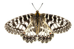 Southern Festoon Zerynthia polyxena Stock Photo