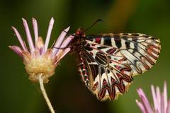 Southern festoon,  Zerynthia polyxena Stock Photo