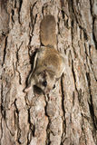 Southern Flying Squirrel. Clinging to a tree at night in southeastern Illinois Stock Photography