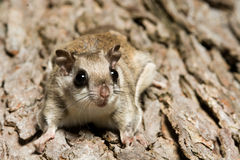 Southern Flying Squirrel. Clinging to a tree at night in southeastern Illinois Royalty Free Stock Images