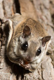 Southern Flying Squirrel Royalty Free Stock Image