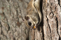 Southern Flying Squirrel Royalty Free Stock Photos