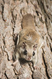 Southern Flying Squirrel Stock Photo