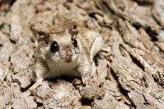 Southern Flying Squirrel Stock Image
