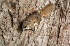 Southern Flying Squirrel. Clinging to a tree at night in southeastern Illinois Royalty Free Stock Photo