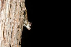 Southern Flying Squirrel. Clinging to a tree at night in southeastern Illinois Royalty Free Stock Image