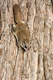 Southern Flying Squirrel Royalty Free Stock Images