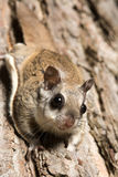 Southern Flying Squirrel. Clinging to a tree at night in southeastern Illinois Stock Photos