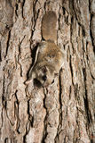 Southern Flying Squirrel Royalty Free Stock Photography